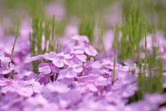 like a flow of a river/ (kurupa_m) Tags: pink plant flower spring xt10