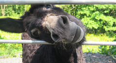 Gimme A Kiss! (Katie_Russell) Tags: ireland donkey northernireland ni ulster nireland norniron coleraine countylondonderry countyderry coderry colondonderry colderry loughan countylderry
