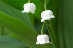 Convallaria majalis (Kurt Braeckmans) Tags: plant flower macro closeup 100v10f 100l28
