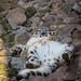 li'l snow leopard in a funny position