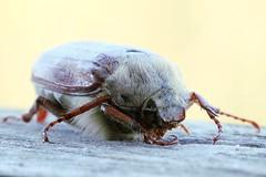 Feldmaikfer (leonbrest) Tags: insekt kfer maikfer cockchafer melolontha scarabaeidae melolonthinae melolonthamelolontha polyphaga blatthornkfer feldmaikfer