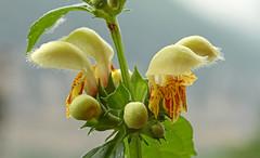 Lamium galeobdolon (Lamiaceae) 130 16 (ab.130722jvkz) Tags: lamium lamiaceae