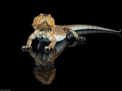 Beardie (susie2778) Tags: reflection studio flash olympus lizard captive beardeddragon pogonavitticeps 60mmmacrof28 captivelight omdem5mii