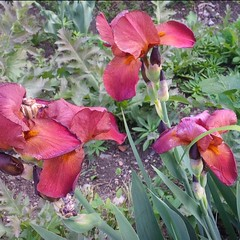 I colori della primavera (Luciana.Luciana) Tags: flowers iris primavera spring colours fiori rosso colori printemps frhling