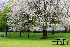 almond trees (Katrinitsa) Tags: park street city uk greatbritain flowers trees england white streets tree green colors beautiful grass canon cherry table landscape manchester spring europe cityscape blossom unitedkingdom britain awesome almond royal streetphotography bloom huge british tall salford optimism inspiring dominant optimistic ordsall