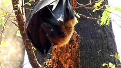 Colony Bat Beating Chennai Heat! (Raj the Tora) Tags: nature mammal flying cool bat flight fox heat gliding chennai flyingfox heating bats fruitbat cooling foxface coolingdown indianflyingfox pteropusgiganteus batcolony flyingmammal cooloingdown greaterindianfruitbat foxlikeface facelikefox beatingeat chennaicolony