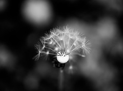 Dandelion (Digic-Vision) Tags: art nature 35mm canon 14 sigma dandelion 6d