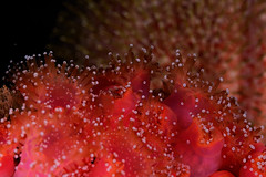 Plymouth-201605-HandDeeps2-Anemone1-Jewel-CorynactisViridis (Tony J Gilbert) Tags: macro marine underwater plymouth diving scylla jameseaganlayne nikond300 handdeeps wwwdivingplymouthcom ceeking hilseapointrocks