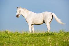 Last Pose of the Morning (jeff_a_goldberg) Tags: horse us illinois spring unitedstates equestrian lipizzan oldmillcreek lipizzans tempelfarms lipizzanstallion thetempellippzans