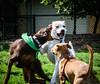 16-05-15_untitled_018 (Daniel.Lange) Tags: dog philadelphia dogs ginger dogdayafternoon spado columbussquarepark