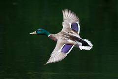 _F0A9623.jpg (Kico Lopez) Tags: birds rio spain aves galicia lugo mio anasplatyrhynchos anadeazulon