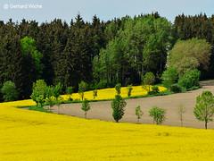 Feld und Geometrie (GerWi) Tags: trees nature forest outdoor natur felder rape gelb fields wald bume raps acre frhling