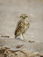 Pequen, Burrowing owl, Athene cunicularia (Andres Puiggros) Tags: chile owl arica athenecunicularia burrowingowl buho pequen