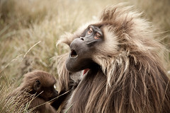 Gelada baboons, Guassa Plateau, Ethiopian Highlands (Global Wildlife Conservation) Tags: africa afromontane eastafrica ethiopia guassa highlands baboon community culture endangered endemic gelada mammal native species threatened