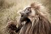 Gelada baboons, Guassa Plateau, Ethiopian Highlands (Global Wildlife Conservation) Tags: africa afromontane eastafrica ethiopia guassa highlands baboon community culture endangered endemic gelada mammal native species threatened