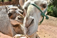 ~~Bb Dromadaire et sa Maman ~~ (Jolisa) Tags: two portrait deux maman bb dromadaire maroc2016 mai2016