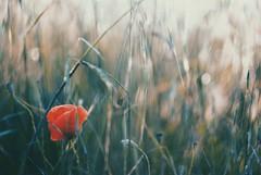 Solstice (culuthilwen) Tags: sonyalpha230 helios helios44m helios44m6 vintagelens bokeh dof poppy meadows nature light summer 58mm f2 flowers poppies m42