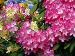 Spectacular magic colours (swetlanahasenjger) Tags: rhododendron doublefantasy saariysqualitypictures