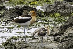American Avocets (Bob Gunderson) Tags: sanfrancisco california birds northerncalifornia americanavocet shorebirds recurvirostraamericana heronshead