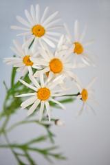 Marguerite (qooh88) Tags: white marguerite perennial     argyranthemum asteroideae       argyranthemumfrutescens