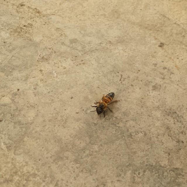 esta #abeja lleva una semana visitandonos siempre puntual a la hora de la comida