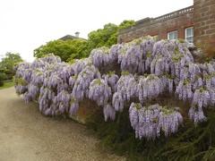 Wisteria (JuliaC2006) Tags: flower garden kent purple wisteria mountephraim