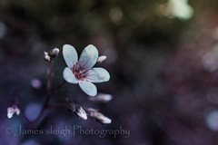 Nikon d5300 (Jasrmcf) Tags: pink blur flower macro green beautiful contrast petals nikon dof purple smooth outoffocus nikonmacro d5300