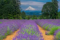 Lavender Farm (Oregun2012) Tags: flowers nature festival oregon landscape fuji farm or lavender mthood pacificnorthwest fujifilm pnw flick xseries naturescape xt1 yourshot oregonnw fujixt1 cliffordpaguio