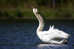 Swan (carolinaaf14) Tags: lake bird water swan delawarewatergap muteswan