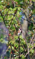 Goldfinch with Windows Open  (96) (John Carson Essex) Tags: thegalaxy supersix rainbowofnature thegalaxystars