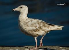 Larus hyperboreus [second-year] (ZMarks) Tags: gulls matosinhos glaucousgull larushyperboreus gaivotobranco gavinhiperbreo