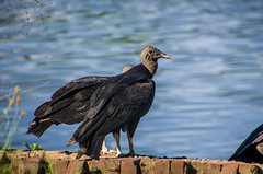 turkey vultures (lvphotos!) Tags: black bird nature water animal turkey big wildlife vulture