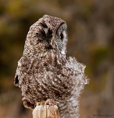 A little windblown  4315 (Bonnieg2010) Tags: wild bird nature alberta owl greatgrayowl avian birdofprey windblown ggo grandvalleyroad bonniegrzesiak