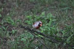 DSC_0066 (Gary Storts) Tags: cardinal gynandromorph gynadromorph orninthology birdwatching birds cardinalis northerncardinal cardinaliscardinalis