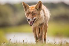 Female red fox (Alex Verweij) Tags: red wild alex nature female canon natuur fox 5d predator vrouw vos redfox vrouwtje 400mm markiii moer scherptediepte verweij moertje alexverweij