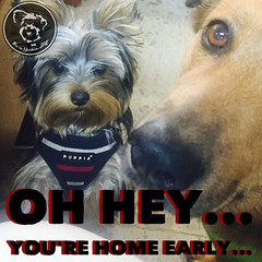 And what exactly were you two up to? (itsayorkielife) Tags: yorkiememe yorkie yorkshireterrier quote