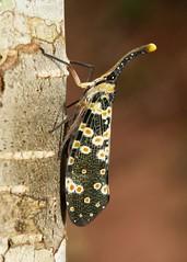 Lanternfly (Pyrops cf. lathburii, Fulgoridae) (John Horstman (itchydogimages, SINOBUG)) Tags: china macro topf25 bug insect fly topf50 lantern yunnan hopper planthopper fbe hemiptera fulgoridae lanternfly tumblr itchydogimages sinobug