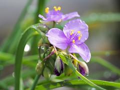 (Tradescantia) 4 (wakyakyamn) Tags: flower olympus  omd tradescantia   em10markii
