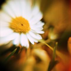 spring flowers (somekeepsakes) Tags: flower macro 120 6x6 film closeup analog mediumformat germany garden square deutschland spring xpro crossprocessed europa europe analogue blume makro garten woca 2012 frhling quadratisch macrolens closeuplens mittelformat lomographyxpro200