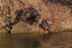 Otter and Pup (Sam Schmidt) Tags: california campus arboretum davis otters ucdavis