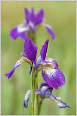 Iris (GLASman1) Tags: iris hand held