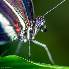 What's Under the Leaf? (philbeckman56) Tags: macro nature closeup butterfly insect wildlife ringlight