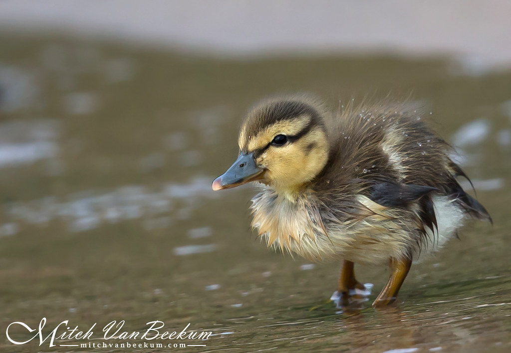 Just Ducky! (Mallard Duckling)