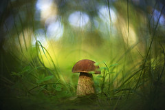 From the heart of the forest (petrapetruta) Tags: mushroom boletus funghi green forest serene freelens nature porcini