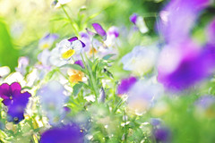 The only B.S. i need in my life is breakfast and squats! (Sandra H-K) Tags: flowers summer nature sunshine outside outdoors flora soft dof bokeh pansy july depthoffield softfocus serene backlit ontheground selectivefocus hbw trioplan bokehwednesday