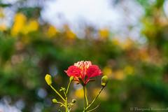 Tree Blossom (Kumaravel) Tags: india flower nature closeup nikon colorful dof blossom bokeh crop chennai kumar kumaravel d3100