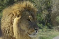 Lion (Michel Seguret Thanks all for 8.400 000 views) Tags: park wild france animal animals nikon lion reserve pro animaux aude len leone parc tier lwe d800 afrique flin sauvage africaine sigean michelseguret felid