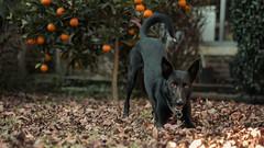 Colores de Otoo (Dan Fajardo) Tags: autumn orange dog black leaves nikon general buenos aires colores otoo mm 500 f18 pacheco d3100