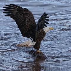 Touchdown (20160602-190824-PJG) (DrgnMastr) Tags: bravo fb cropped eagles baldeagles coth littlestories oe2 brilliantnature oe1 avianexcellence overtheexcellence goldwildlife naturesspirit picswithsoul damniwishidtakenthat coth5 ia37 dmslair sunshinegroup opticalexcellence grouptags allrightsreserveddrgnmastrpjg pjgergelyallrightsreserved