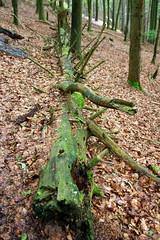 Gefallener Baumstamm im Wald (koelnblogging.com) Tags: grn wald stamm baumstamm